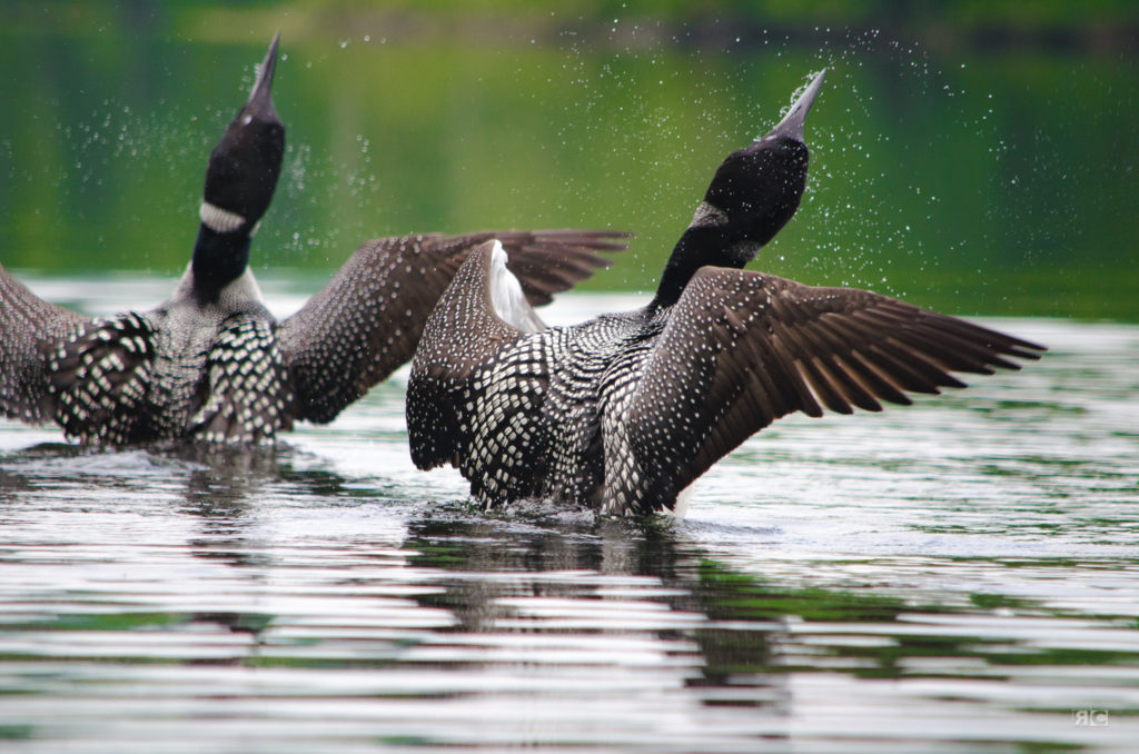 Loons of Maine