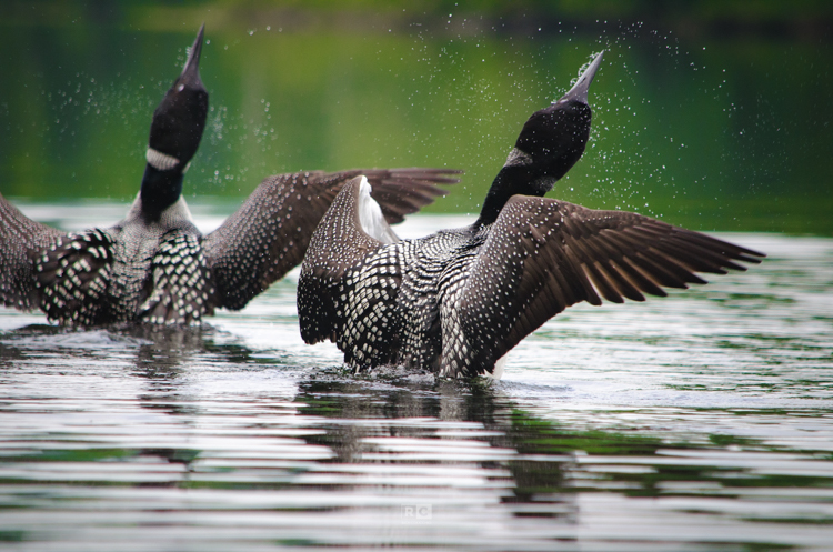 Loons on Clemons Pond