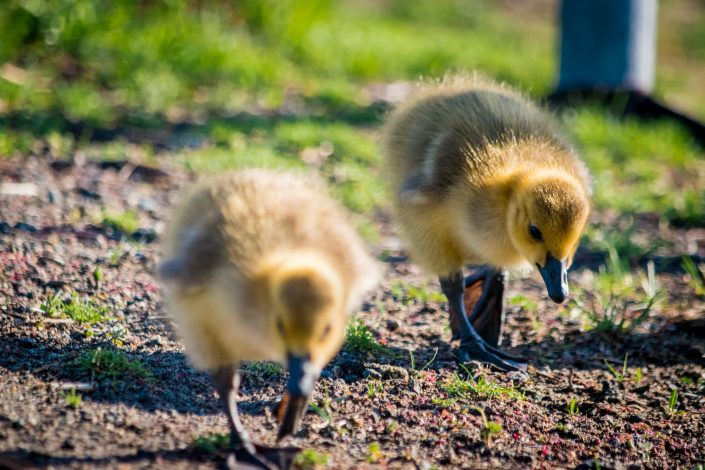 A Gaggle of Goslings