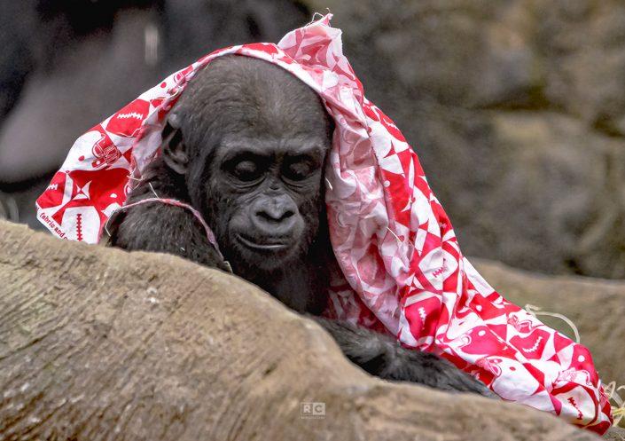 Gorilla Baby at Franklin Park Zoo