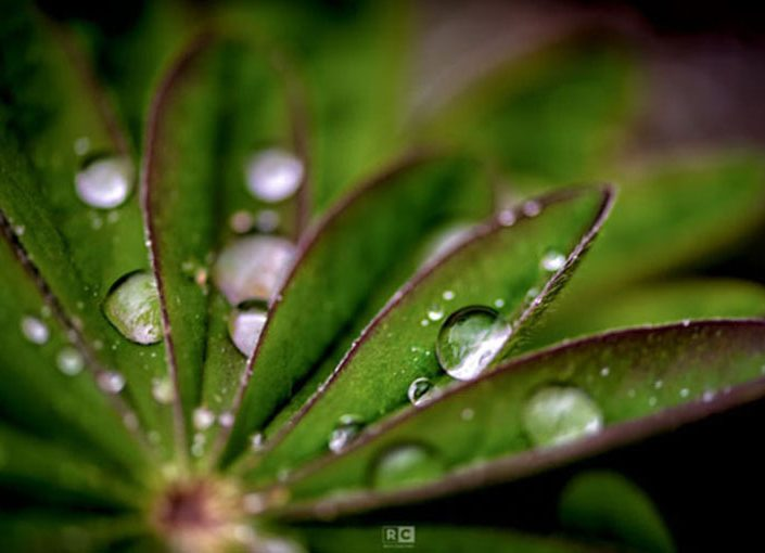 Water Droplets on Lupine