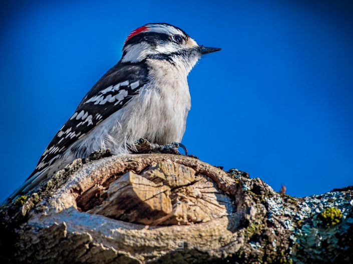 Downy Woodpecker – Spring 2021