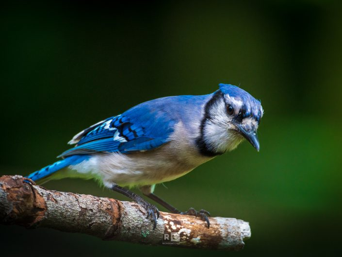 Perched Blue-Jay